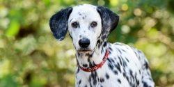Der Dalmatiner – ein Modehund?