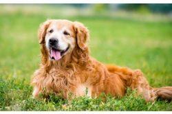 Älteste Wild Dog Hunderasse ist wieder aufgetaucht