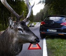 Tipps für den Alltag Hirsche kennen keine Verkehrsregeln