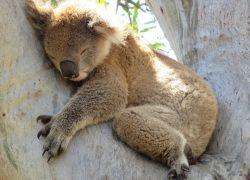 Tipps vom Koala zum Tag des Schlafes (21.6.) – Schlafexperte…