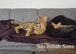 Zehn Fragen zu Savannah Katzen