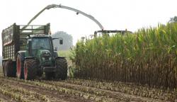 Mais: Erste Sortenergebnisse der AGRAVIS liegen vor